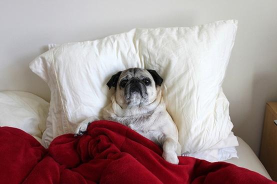 Cute Pug Picture