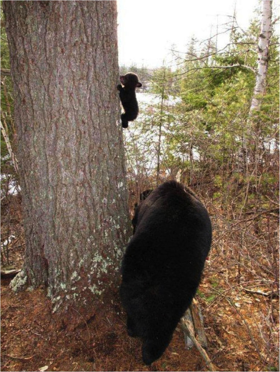 baby bear climbing cute animals