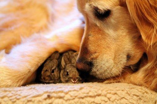 golden retriever & bunnies