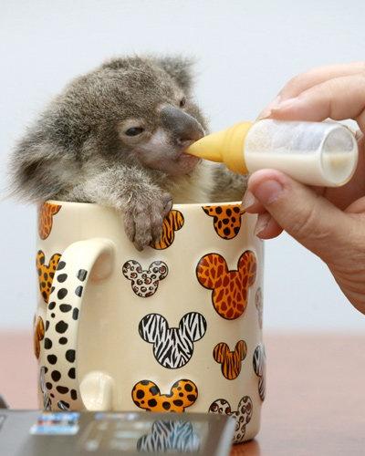 Koala in a Cup