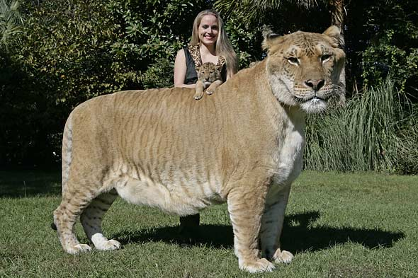 liger and person