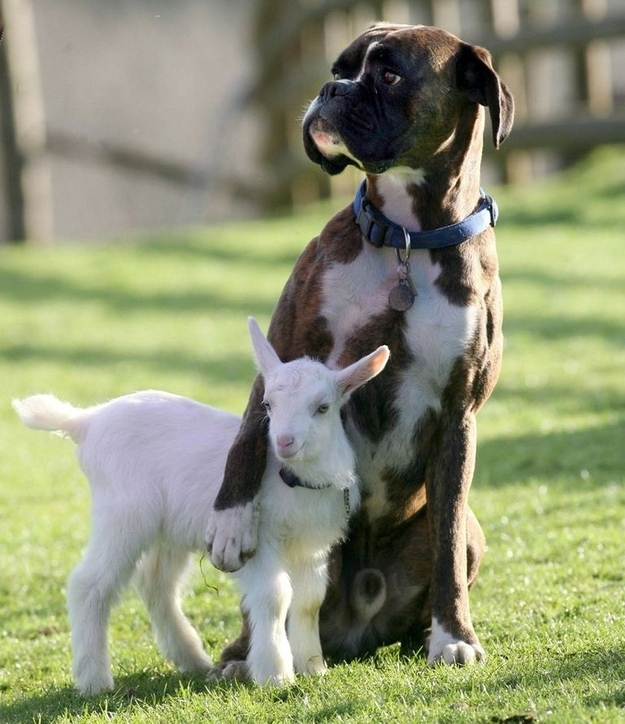 boxer and goat friends