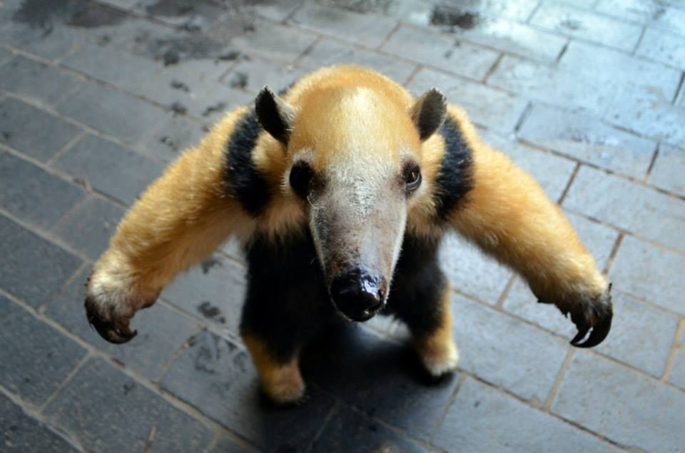 Cute Baby Anteaters
