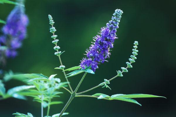 herbs that shorten your period