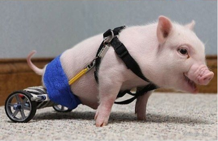 pig with no legs