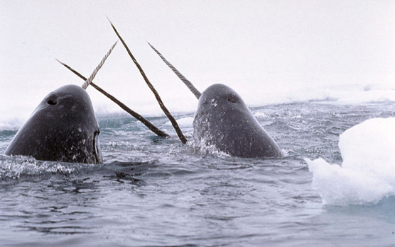 swimming with narwhals