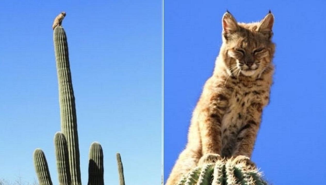 bobcat on a cactus