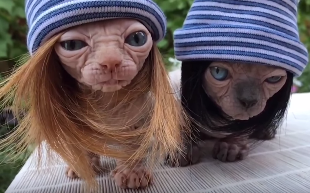 hairless cats in wigs